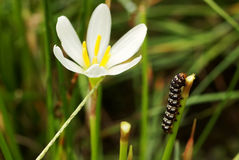 Carpenterworm with zephyranthes grandiflora Stock Photo