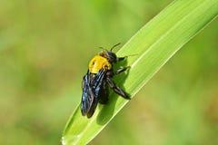 Carpentiere Bee Immagini Stock