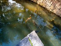 Carpes colorés en Nara Japan Goup des poissons de koi dans la piscine d'eau en Nara Japan image stock