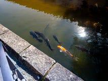 Carpes colorés en Nara Japan Goup des poissons de koi dans la piscine d'eau en Nara Japan photographie stock libre de droits