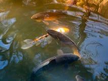Carpes colorés en Nara Japan Goup des poissons de koi dans la piscine d'eau en Nara Japan images libres de droits