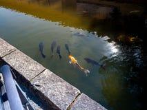 Carpes colorés en Nara Japan Goup des poissons de koi dans la piscine d'eau en Nara Japan photo libre de droits