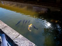 Carpes colorés en Nara Japan Goup des poissons de koi dans la piscine d'eau en Nara Japan photos libres de droits