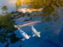 Carpes colorés en Nara Japan Goup des poissons de koi dans la piscine d'eau en Nara Japan photos stock