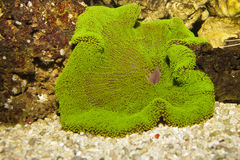 Carpet Anemone, Green Stock Image