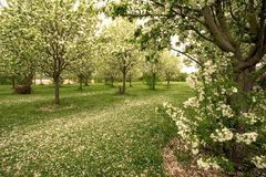 Carpet of apple blossoms in spring