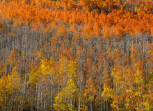 Carpet of Aspen trees. In autumn time Stock Images