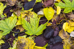 Carpet of autumn leaves. Colorful and bright background made of fallen autumn leaves Stock Photo