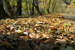 Carpet of autumn leaves. Fallen autumn leaves on the ground. Fallen autumn leaves on the ground royalty free stock image
