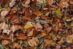 Carpet of autumn leaves. Fallen autumn leaves on the ground. Fallen autumn leaves on the ground royalty free stock photography