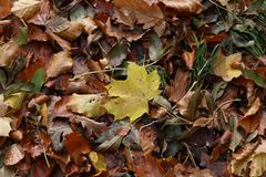 Carpet of autumn leaves. Fallen autumn leaves on the ground. Fallen autumn leaves on the ground stock images