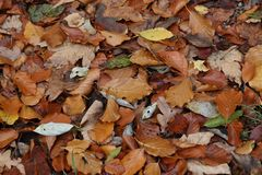 Carpet of autumn leaves. Fallen autumn leaves on the ground. Fallen autumn leaves on the ground stock photos