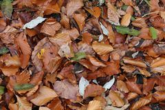 Carpet of autumn leaves. Fallen autumn leaves on the ground. Fallen autumn leaves on the ground royalty free stock images