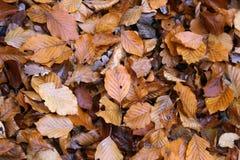 Carpet of autumn leaves. Fallen autumn leaves on the ground. Carpet of autumn leaves. Fallen autumn leaves on the ground stock photo