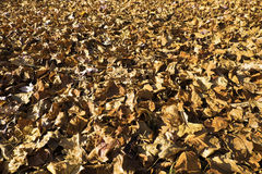 Carpet of Autumn leaves Royalty Free Stock Image