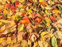 Carpet of autumn leaves in many colors.  royalty free stock images
