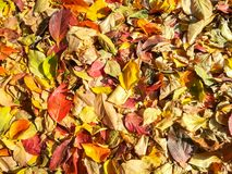 Carpet of autumn leaves in many colors.  royalty free stock image