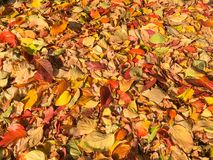 Carpet of autumn leaves in many colors. Carpet of autumn leaves in many bright colors stock images