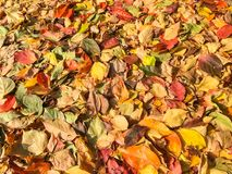 Carpet of autumn leaves in many colors. As background royalty free stock image