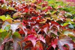 A carpet of autumn red ivy leaves stock image