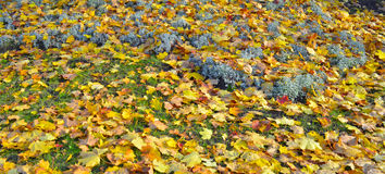 Carpet from autumnal leaves Stock Photos