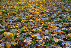 A carpet of autumnal  leaves covered with frost Stock Image