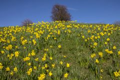 Daffodils During the Spring Season Royalty Free Stock Image