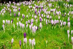 Carpet of blooming crocuses Royalty Free Stock Photo