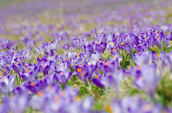 Carpet of blooming crocuses in chocholowska valley in tatra moun Royalty Free Stock Photography