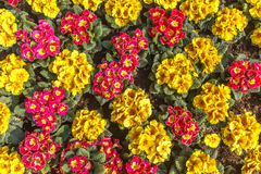 Carpet of  blooming spring primulas Stock Image