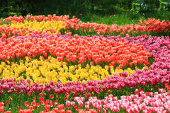 Carpet of blooming tulips Stock Photo