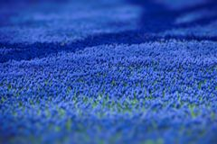 Carpet from blue flowers in the spring Stock Image