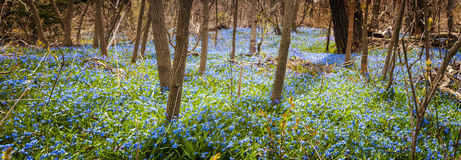 Carpet of blue flowers in spring forest. Panorama of early spring blue flowers wood squill blooming in abundance on forest floor. Ontario, Canada royalty free stock photo