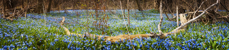 Carpet of blue flowers in spring forest. Panorama of early spring blue flowers wood squill blooming in abundance on forest floor. Ontario, Canada Stock Photo