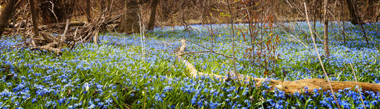 Carpet of blue flowers in spring forest. Panorama of early spring blue flowers wood squill blooming in abundance on forest floor. Ontario, Canada Royalty Free Stock Image