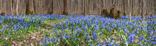 Carpet of blue snowdrop blossom flowers in early spring forest. Scilla siberica Squill -- spring landscape, panorama. Carpet of blue snowdrop blossom flowers in Stock Images