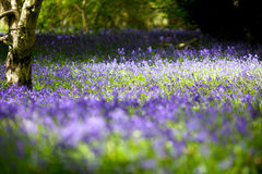 Carpet of Bluebell's. A carpet of bluebell's in an English woodland Royalty Free Stock Image