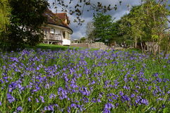Carpet of Bluebells. In an English garden Royalty Free Stock Image