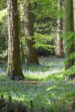 Carpet of Bluebells in Beech Wood, Buckinghamshire, England UK.  Royalty Free Stock Photography