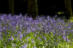 Carpet of Bluebells in Beech Wood, Buckinghamshire, England UK.  Royalty Free Stock Photos