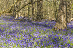 Carpet of Bluebells Royalty Free Stock Photography