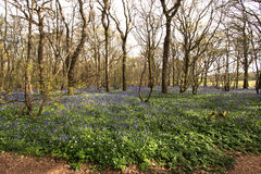 Carpet of bluebells Royalty Free Stock Image
