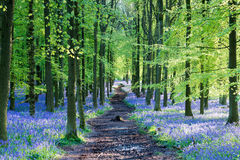 Carpet of bluebells Stock Photo