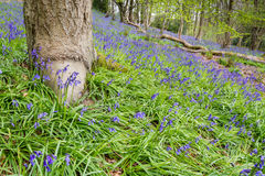 Carpet of Bluebells Stock Images