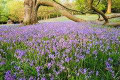 A carpet of bluebells surrounds mature trees in this open woodland Stock Photo