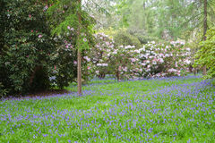 A carpet of bluebells and white flowering rhododendron bushes Stock Photos