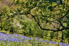 Carpet of bluebells in woodland Royalty Free Stock Photos