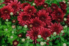 Carpet of burgundy chrysanthemums. Gorgeous and classic fall colors wall-to-wall in this carpeting of big blooming burgundy mums Stock Photo