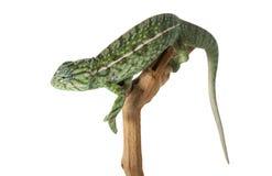 Carpet Chameleon Royalty Free Stock Image