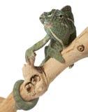 Carpet Chameleon Royalty Free Stock Images